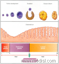 Menstrual Cycle Video lecture