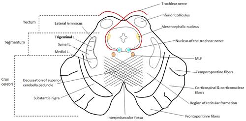 Superior Colliculus Midbrain Midbrain Superior Colliculus