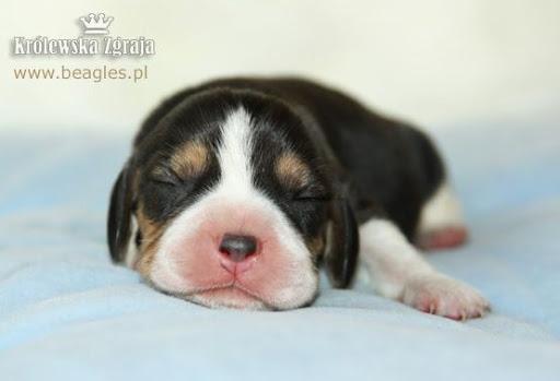 szczeniaki beagle - szczenię beagle, piesek tricolor 4