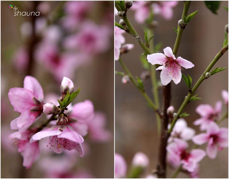 wmpeach-blossoms-2011-4