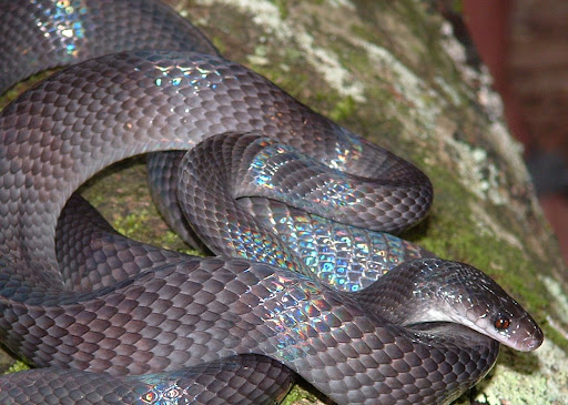 Forest Flame Snake