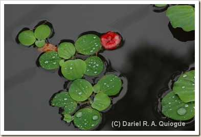 Rainwater on Lilies, Phil Eagle Sanctuary