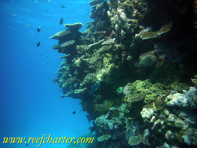 Coral Reef Growing from Seabed to the Surface