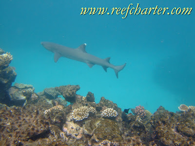 White Tips Shark Cruising the Reef