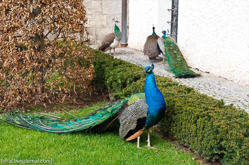 Замок Конопиште, Чехия; павлины | Konopishte Castle, Czech Republic; peacocks | Zámek Konopiště, Česká republika; pávi