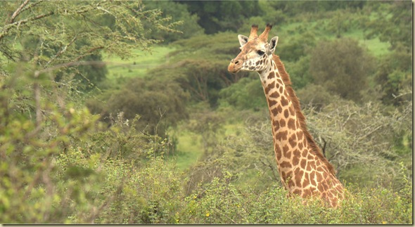 girraffe