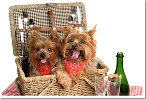 484121-due-adorable-yorkshire-terriers-in-un-cestino-da-picnic
