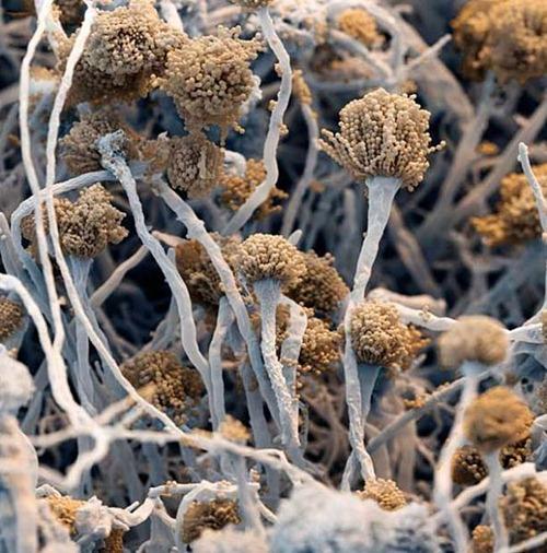 O fungo Aspergillus fumigatus.