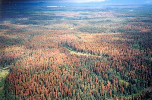 British Columbia forest killed by pine beetle infestation. Photo by Lorraine Maclauchlan, Ministry of Forests, Southern Interior Forest Region
