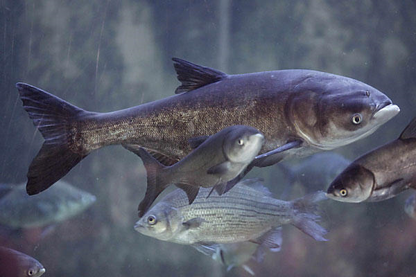 rethinking asian carp The state of illinois' response to the asian carp threat has involved everything from electric barriers in rivers, to removal by commercial fishermen, to investments in creating new markets for this invasive species.