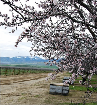 California almond growers have their orchards pollinated by bees, some of which are trucked across the country afterward for work on the East Coast. The trip could be a factor as bee populations decline yearly. Photo Credit: U.s. Department Of Agriculture