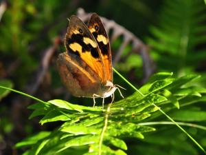 Common brown butterfly (Heteronympha merope). Is it time to lay yet? Image: Paul Sunnuck, Monash University