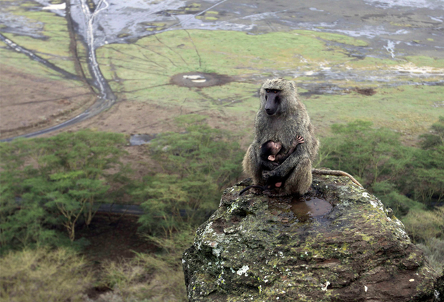 A baby baboon clings to its mother, with the receding shore of Lake Nakuru in Kenya in the background, on October 7, 2009. (AP Photo / Khalil Senosi)