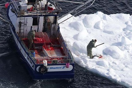 A sealer clubs a harp seal during the 2010 seal hunt off the coast of Newfoundland. Photo: Reuters