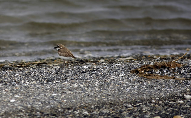 A sandpiper on the shore of one of the Chandeleur islands. The Deepwater Horizon oil spill threatens this beach and all of its wildlife. Photograph: Gerald Herbert / AP via guardian.co.uk