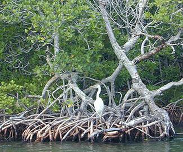 Heron rests in a mangrove forest in South Florida. (Photo courtesy USGS)