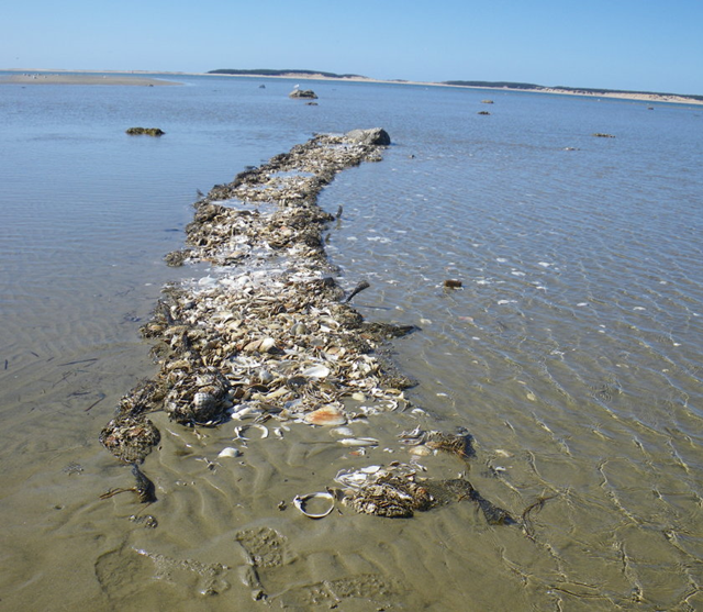 Oyster Reef off Lieutenant Island in Wellfleet Bay survives long, harsh winter. turtlejournal.com