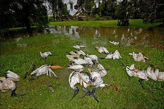 Dead birds at the air force base at Laverton, Victoria, Australia, after Cyclone Yasi. Meredith O'Shea