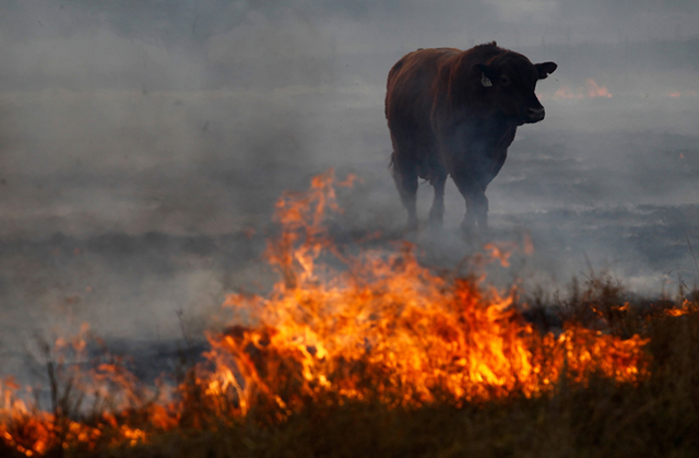 A bull tries to escape a running wildfire on April 19, 2011 in Graford, Texas. Getty Images / Tom Pennington / sacbee.com