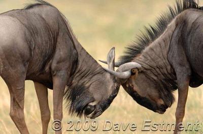 wildebeest-butting-headswtmk2
