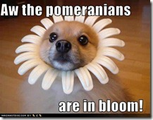 funny-dog-pictures-pomeranians-bloom