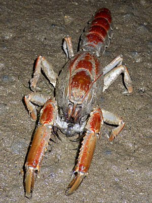 Mud Lobster (Thalassina kelanang)