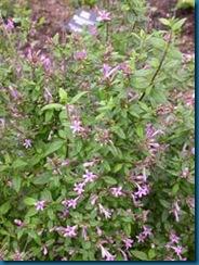 Leptodermis oblonga - Missouri Botanical Garden