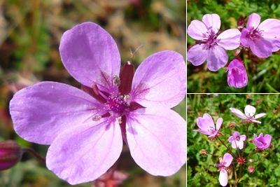 Ver flores roxas marvão