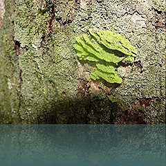 florestaruma62