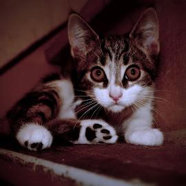 cat world by Barry Van de Laar - Animals - Cats Kittens ( cats, kitten, cat portrait, close up, animal,  )