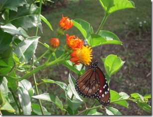 ... Of The Milkweed Butterflies In Florida Is The Soldier Butterfly (Danaus  Eresimus) Also Known As The Tropical Queen. A Rare Treat In Our MOSI Gardens,  ...