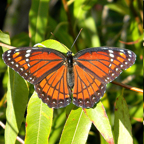The adult Florida Viceroy butterfly is most often spotted near wetlands ...