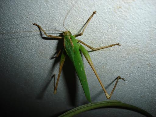 [Orthoptera sp.] ma sauterelle preferee... DSC03153