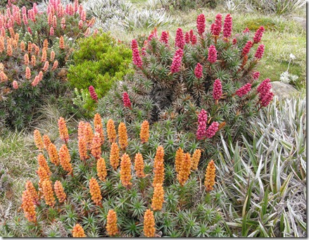 Richea scoparia Newdegate Pass