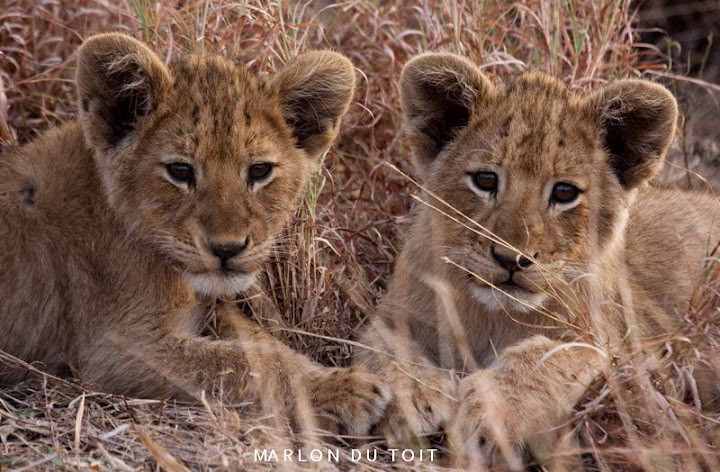 Lion cubs in Singita Kruger National Park.