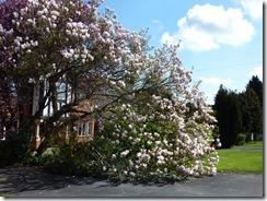 magnolia b