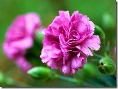 Carnation_flower