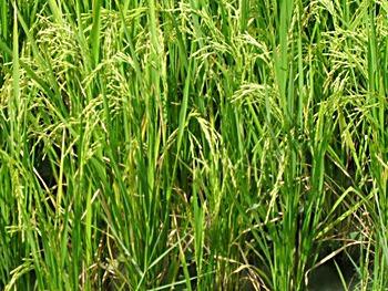 http://lh5.ggpht.com/_qQQQg0ODhzo/TUJgxZthBxI/AAAAAAAALQ8/kb09YbmRuX4/Rice%20field%20in%20mamit%20districtjpg%5B2%5D.jpg