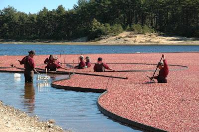 クランベリー収穫の様子