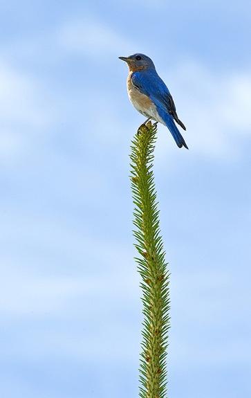 Tweety_3_Bluebird