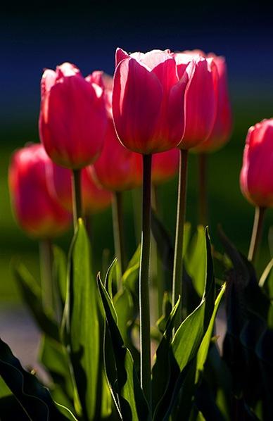 Tulips_13w