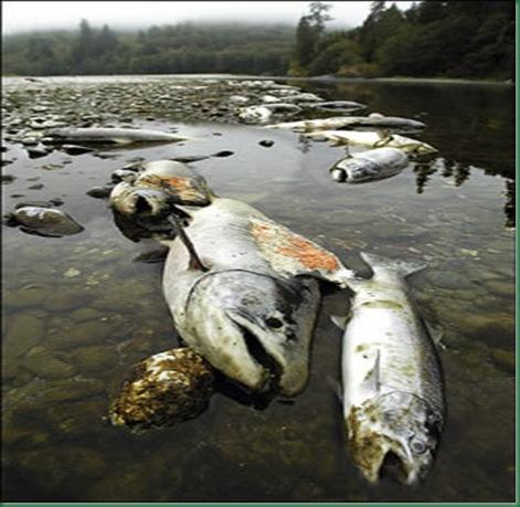 contaminacion_de_los_rios_mortandad_de_peces_por_contaminacion[1]
