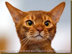 Ro-Abyssinian-cat