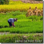 chinese-rice-field