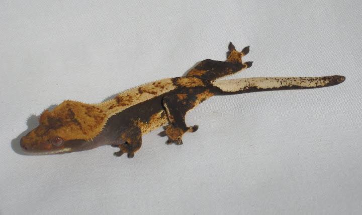 Dark Pinstripe Crested Gecko Female
