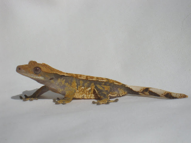 Tri-Color Crested Gecko Female