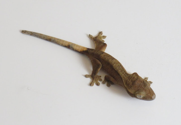 Yellow Tiger Crested Gecko Juvenile