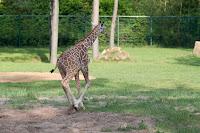 Carlo (Giraffe)