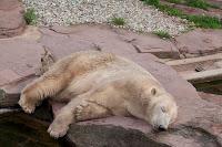 Eisbär (Felix)