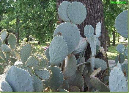 opuntia maxima forse orto botanico roma